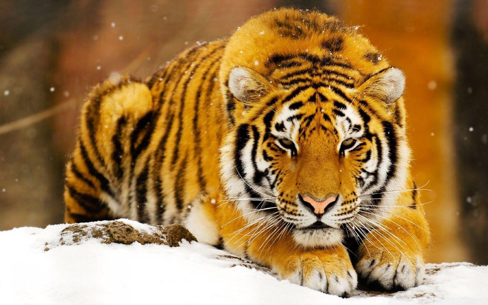 Os Tigres Imaginários
